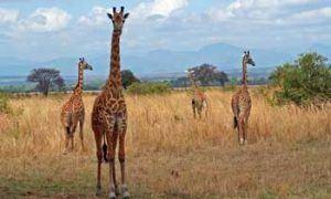 Trek dans la savane tanzanienne