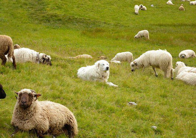 chien de berger en randonnée