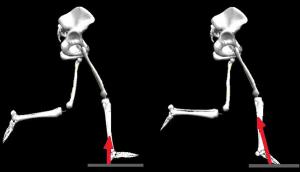 Attaque talon vs attaque médio-pied