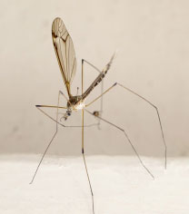 moustique2_vign