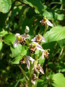 Ophrys abeille, orchidée de la Drôme